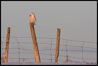 Snowy Owl/Harfang des neiges